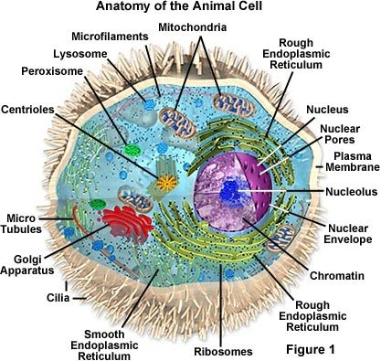 Animal Cell Core